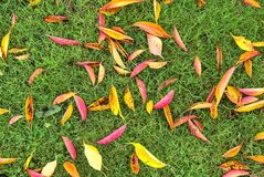Top view of beautiful autumnal fallen cherry tree leaves. Amazing fall yellow, gold, red, and purple cheery leaves on grass