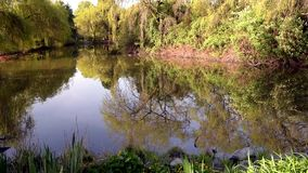 Pond in a spring park with reflection of trees and bushes in the water. Grass, green leaves and yellow flowers in the foreground stock video footage