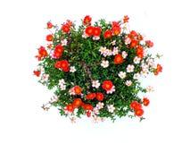 Colorful flower bush isolated white background. Top view of beautiful colorful flower bush isolated white background Stock Images