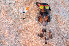 Top view beautiful dog of dachshund, black and tan, buried in the sand at the beach sea on summer vacation holidays, wearing red s royalty free stock images