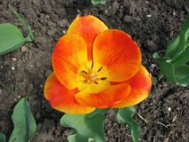 Top view of a beautiful orange blooming tulip. Closeup of garden flower royalty free stock photos