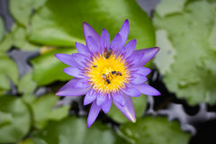Top view beautiful purple Lotus flower or water lily have bees g Royalty Free Stock Images