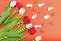 Top view of beautiful red and pink tulips with petals and green leaves. Isolated on red Royalty Free Stock Images