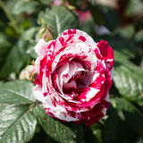 Top view of a beautiful rose Stock Images