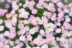 Top view of beautiful sweet pink daisy or chamomile flowers blooming in a sunny day with soft pastel color filter. And vintage style royalty free stock photos