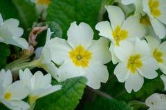 Top view of beautiful white primroses royalty free stock image