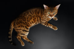 Top View of Bengal Cat Royalty Free Stock Photography