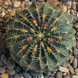Top view of big Echinocactus, round cactus with red and yellow on the pebble, Square. Top view of big Echinocactus, round cactus with bright red and yellow on stock image