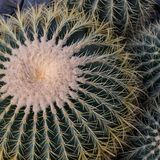 Top view of big Echinocactus, round cactus with small cacti, Square. Top view of big green Echinocactus, round cactus with small cacti, Square stock image