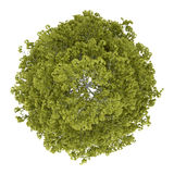 Top view of birch tree isolated. On white background Royalty Free Stock Photos