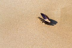 Sea Mussel on the sand of a beach. Top view of a black sea mussel on a sand beach Royalty Free Stock Images
