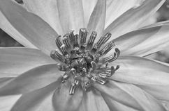 Top view of black and white water lily. Top view of black and white pollens of water lily flower Stock Photography