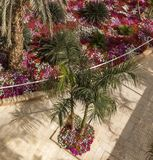Top View of Blooming colorful Vinca Flowers and tropical Palms tr. Ee in the garden Stock Images
