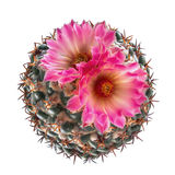 Top view of blooming pink flower cactus Coryphantha species is. Olated on white background, clipping path included stock images
