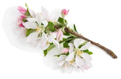 Apple twig in bloom. Above view. Royalty Free Stock Images