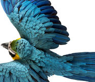 Top view of a Blue-and-yellow Macaw flying Royalty Free Stock Photo