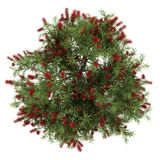 Top view of bottlebrush tree isolated on white Stock Image