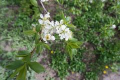 Top view of branch of blossoming cherry. Tree royalty free stock photo