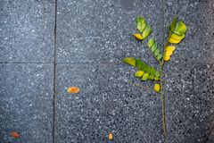 Top view of the branch with green and yellow leaves fall on black tiles pedestrian for background. Copy space stock photos
