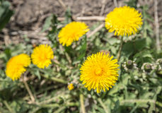 Top view of a bright yellow flowering dandelion plant Royalty Free Stock Photography