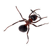 Top view of brown ant Stock Image