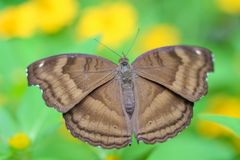 Top view brown butterfly in garden stock images