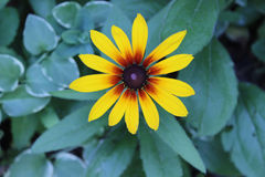 Top View of Brown-eyed Susan Daisy Flower Stock Photos