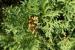 Top view of seed cones of Thuja occidentalis. Top view of brown seed cones of Thuja occidentalis Stock Photos