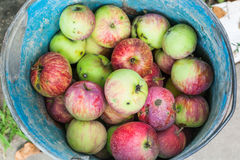 Top view of bucket with fresh windfall apples Royalty Free Stock Photography