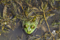 Top View Of Bull Frog Royalty Free Stock Photo