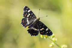 Top View on the butterfly Map (Araschnia levana). On a blade of grass Royalty Free Stock Images