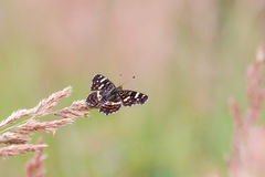 Top View on the butterfly Map Araschnia levana. On a meadow Stock Photo