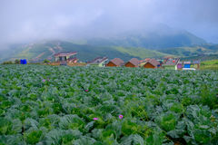Top view of cabbage farm of village houses among green trees at highlands. Royalty Free Stock Images