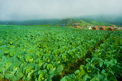 Top view of cabbage farm of village houses among green trees at highlands. Stock Photos