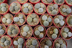 Top view of cactus in the farm Royalty Free Stock Photography
