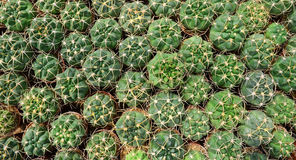 Top view of cactus in the farm Royalty Free Stock Images