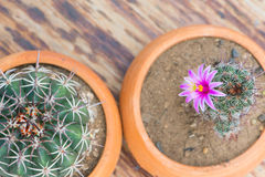 Top view of cactus in flower pot on wood table Stock Image