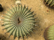 Top view of cactus. On the ground Royalty Free Stock Images
