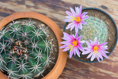 Top view of cactus with pink flower in pot on wood table Royalty Free Stock Image