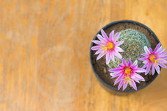 Top view of cactus with pink flower in pot on wood table Stock Images