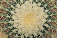 Top view of cactus Royalty Free Stock Photography