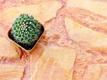 Top view of cactus plants close up with space background Stock Image