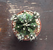 Top view of a cactus on wood table Stock Images