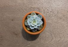 Top view of cactus on wood table Stock Image