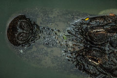 Top view of caiman in water. Stock Photo