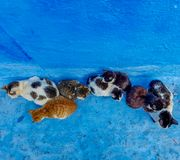 Top view of calico cats, sitting outside on the blue stairs of house. A Top view of calico cats, sitting outside on the blue stairs of house royalty free stock image