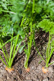 Top view of carrots on garden bed Stock Image