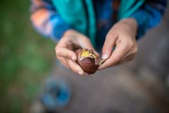 Top view of a child peeling a shell of roasted chestnut. Top view of child hand peeling the shell of freshly roasted tasty chestnut stock photography