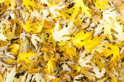 Top view close up beautiful bright photo of yellow leafs fallen on green fresh grass on sunny autumn day stock photography