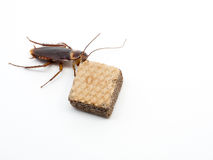Top view closeup cockroach on the chocolate wafer. Stock Images